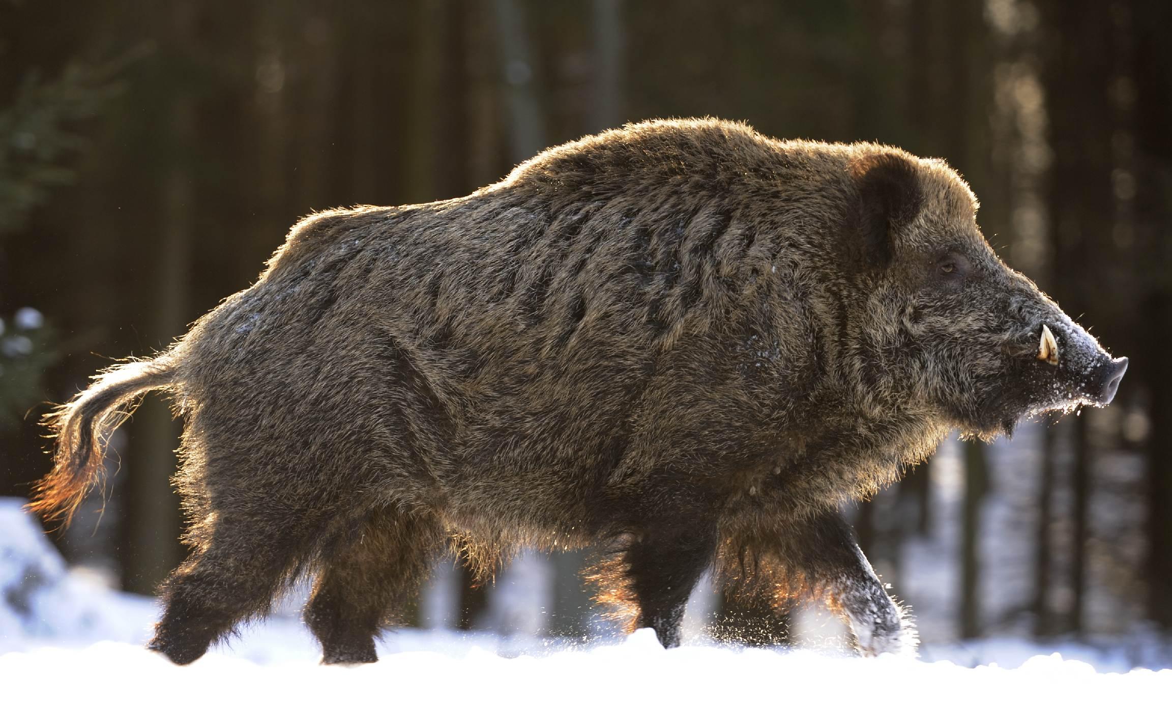Фото дикого большого кабана в россии