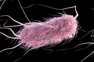 Escherichia coli -