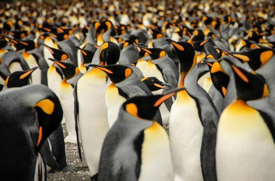 In a Crowd of King Penguins -